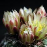 Cactus nectar bloom