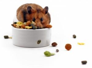 Nibbly hamster