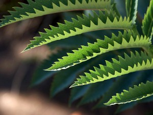 Jagged leaves